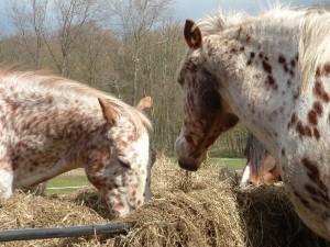 Hooi paard