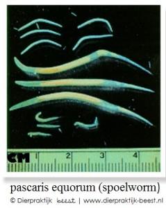 Spoelworm paard