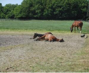 sociaal gedrag paard