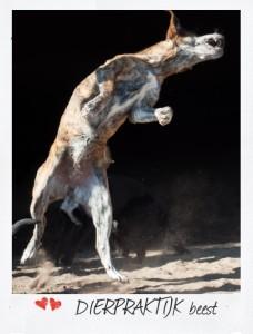 Wolf tot Hond, evolutie, domesticatie, gedrag en voeding | Dierpraktijk Beest | Natuurgeneeskunde voor dieren