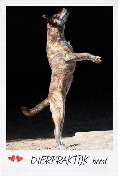 Evolutie, Domesticatie en Gedrag Hond