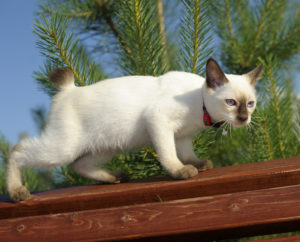 kattenrassen homeopathie kat