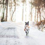 ijs hond