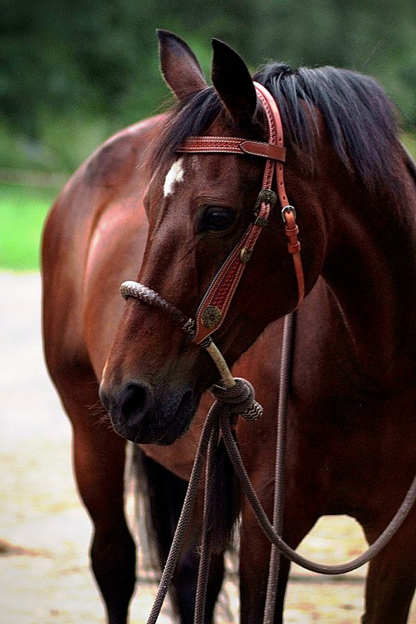 Bosal bitloos paardrijden